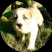 Герда алабай щенок